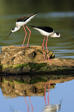 Black-winged Stilt (Himantopus himantopus) pair courting, Alentejo, Portugal  -  Duncan Usher