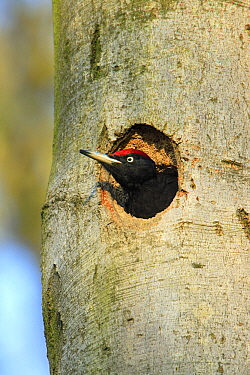 Black Woodpecker (Dryocopus martius) male at nest entrance, Lower Saxony, Germany  -  Duncan Usher