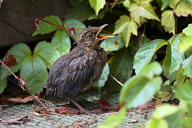Eurasian Blackbird (Turdus merula) fledgling calling for food in garden, Lower Saxony, Germany  -  Duncan Usher