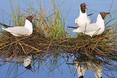 Black-headed Gull (Chroicocephalus ridibundus) on nest with two others, De Groote Peel National Park, Noord-Brabant, Netherlands  -  Otto Plantema/ Buiten-beeld