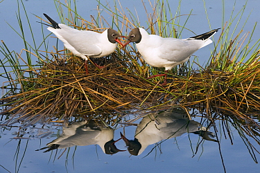 Black-headed Gull (Chroicocephalus ridibundus) pair on nest, De Groote Peel National Park, Noord-Brabant, Netherlands  -  Otto Plantema/ Buiten-beeld