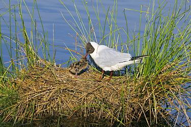 Black-headed Gull (Chroicocephalus ridibundus) feeding chick on nest, De Groote Peel National Park, Noord-Brabant, Netherlands  -  Otto Plantema/ Buiten-beeld
