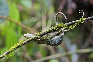 Horned Anole (Anolis proboscis) pair mating on branch, Mindo, Pichincha, Ecuador  -  James Christensen