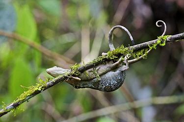 Horned Anole (Anolis proboscis) pair mating while hanging from twig, Mindo, Pichincha, Ecuador  -  James Christensen