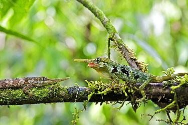 Horned Anole (Anolis proboscis) males confronting on branch, Mindo, Pichincha, Ecuador. Sequence 3 of 10  -  James Christensen