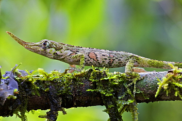 Horned Anole (Anolis proboscis) subadult male walking over a mossy branch, Mindo, Pichincha, Ecuador  -  James Christensen