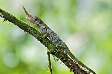 Horned Anole (Anolis proboscis) sub-adult male on a twig, Mindo, Pichincha, Ecuador  -  James Christensen