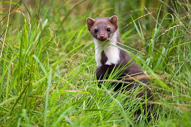 Beech Marten (Martes foina) in the grass, Vechta, Lower Saxony, Germany  -  Willi Rolfes/ NIS