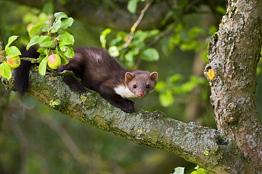 Beech Marten (Martes foina) on a tree branch, Vechta, Lower Saxony, Germany  -  Willi Rolfes/ NIS