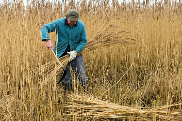 Man cutting reeds on the bank of a lake, Lembruch, Dummer See, Lower Saxony, Germany  -  Willi Rolfes/ NIS