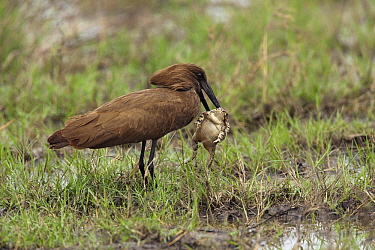 Hamerkop (Scopus umbretta) with frog prey, Moremi Game Reserve, Botswana  -  Chris Stenger/ Buiten-beeld