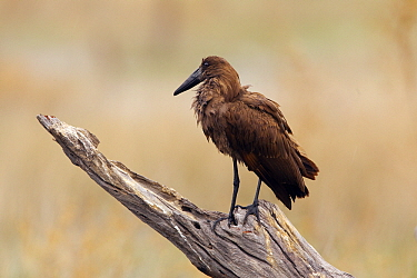 Hamerkop (Scopus umbretta) perched on a snag, Moremi Game Reserve, Botswana  -  Chris Stenger/ Buiten-beeld