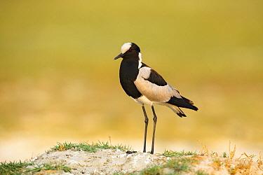 Blacksmith Lapwing (Vanellus armatus), Moremi Game Reserve, Botswana  -  Chris Stenger/ Buiten-beeld