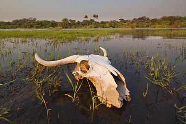 Buffalo skull near Boteti River, Makgadikgadi Salt Pans, Botswana  -  Chris Stenger/ Buiten-beeld