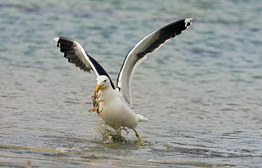 Kelp Gull (Larus dominicanus) flying with crab prey, Stewart Island, New Zealand  -  Otto Plantema/ Buiten-beeld