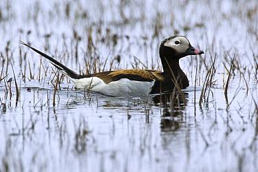 Long-tailed Duck (Clangula hyemalis) drake swimming in lake on tundra, Alaska  -  Otto Plantema/ Buiten-beeld