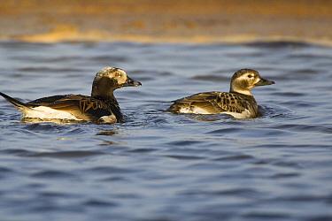 Long-tailed Duck (Clangula hyemalis) pair swimming in lake on tundra, Alaska  -  Otto Plantema/ Buiten-beeld