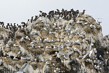 Brunnich's Guillemot (Uria lomvia) colony on bird cliff with Black-legged Kittiwakes (Rissa tridactyla), Pribilof Islands, Alaska  -  Otto Plantema/ Buiten-beeld