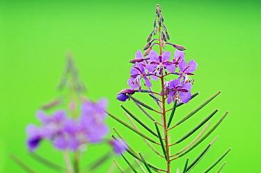 Fireweed (Chamerion angustifolium), De Westereen, Friesland, Netherlands  -  Marcel van Kammen/ NiS