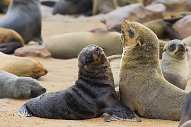 Cape Fur Seal (Arctocephalus pusillus) female and pup amid breeding colony, Cape Cross, Skeleton Coast, Namibia  -  Vincent Grafhorst