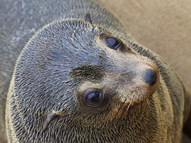 Cape Fur Seal (Arctocephalus pusillus)juvenile, Cape Cross, Skeleton Coast, Namibia  -  Vincent Grafhorst