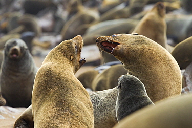 Cape Fur Seal (Arctocephalus pusillus) fighting amid colony, Cape Cross, Skeleton Coast, Namibia  -  Vincent Grafhorst