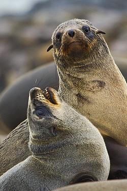 Cape Fur Seal (Arctocephalus pusillus) juveniles playing, Cape Cross, Skeleton Coast, Namibia  -  Vincent Grafhorst