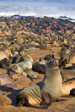 Cape Fur Seal (Arctocephalus pusillus) breeding colony, Cape Cross, Skeleton Coast, Namibia  -  Vincent Grafhorst