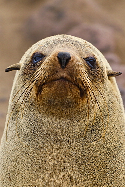 Cape Fur Seal (Arctocephalus pusillus) female portrait, Cape Cross, Skeleton Coast, Namibia  -  Vincent Grafhorst