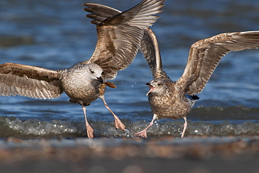 Herring Gull (Larus argentatus) two juveniles fighting over food, Hoek van Holland, Zuid-Holland, Netherlands  -  Jasper Doest