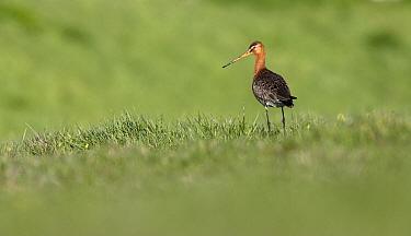 Black-tailed Godwit (Limosa limosa) in meadow, Midden-Delfland, Zuid-Holland, Netherlands  -  Jasper Doest