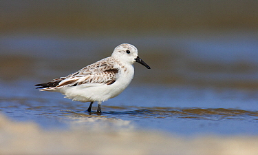 Sanderling (Calidris alba) wading in shallow water, Texel, Noord-Holland, Netherlands  -  Jasper Doest