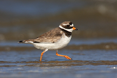 Common Ringed Plover (Charadrius hiaticula) running, Texel, Noord-Holland, Netherlands  -  Jasper Doest