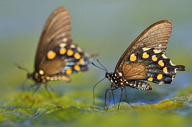 Pipe-vine Swallowtail (Battus philenor) butterfly pair drinking from wet algae, Hebbronville, Texas  -  Jasper Doest
