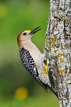 Golden-fronted Woodpecker (Melanerpes aurifrons) against tree trunk, Hebbronville, Texas  -  Jasper Doest