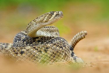 Western Diamondback Rattlesnake (Crotalus atrox) in defensive pose, Hebbronville, Texas  -  Jasper Doest