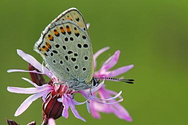Sooty Copper (Lycaena tityrus) butterfly on Ragged Robin (Lychnis flos-cuculi), Saint-Jory-las-Bloux, Dordogne, France  -  Silvia Reiche