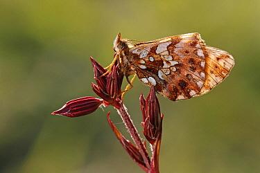 Weaver's Fritillary (Clossiana dia) butterfly on Ragged Robin (Lychnis flos-cuculi), Saint-Jory-las-Bloux, Dordogne, France  -  Silvia Reiche