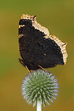 Mourning Cloak (Nymphalis antiopa) butterfly resting on thistle, Netherlands  -  Silvia Reiche