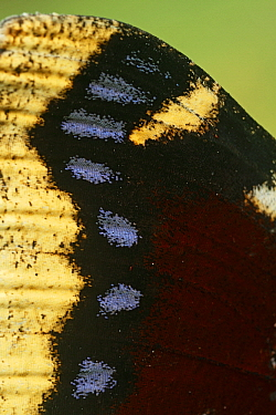 Mourning Cloak (Nymphalis antiopa) wing, Netherlands  -  Silvia Reiche