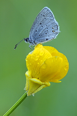 Short-tailed Blue (Cupido argiades) butterfly on yellow flower, Saint-Jory-las-Bloux, Dordogne, France  -  Silvia Reiche