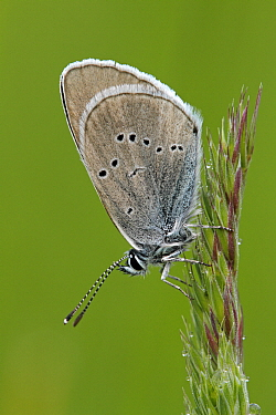 Mazarine Blue (Cyaniris semiargus) butterfly on grass, Saint-Jory-las-Bloux, Dordogne, France  -  Silvia Reiche