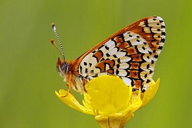 Glanville Fritillary (Melitaea cinxia) butterfly on yellow flower, Saint-Jory-las-Bloux, Dordogne, France  -  Silvia Reiche