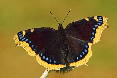 Mourning Cloak (Nymphalis antiopa) butterfly with open wings, Netherlands  -  Silvia Reiche