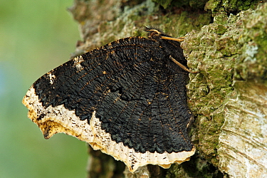 Mourning Cloak (Nymphalis antiopa) on tree trunk, Netherlands  -  Silvia Reiche