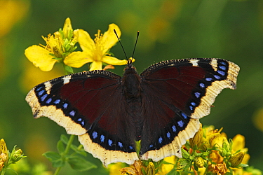 Mourning Cloak (Nymphalis antiopa), Netherlands  -  Silvia Reiche