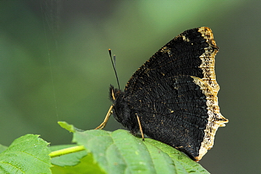 Mourning Cloak (Nymphalis antiopa) resting on leaf, Netherlands  -  Silvia Reiche