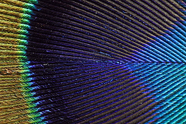 Indian Peafowl (Pavo cristatus) feather from male tail plumes, Hoogeloon, Noord-Brabant, Netherlands  -  Silvia Reiche