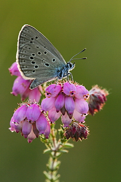 Alcon Blue (Maculinea alcon) on Cross-leaved Heath (Erica tetralix), Neterselse Heide, Noord-Brabant, Netherlands  -  Silvia Reiche