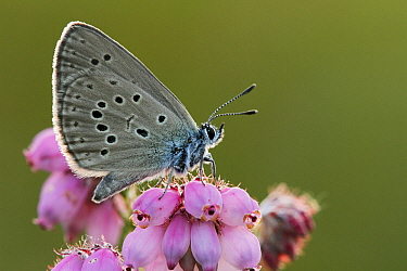 Alcon Blue (Maculinea alcon) butterfly on Cross-leaved Heath (Erica tetralix), Neterselse Heide, Noord-Brabant, Netherlands  -  Silvia Reiche